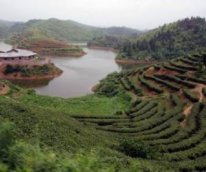 沩山白毛尖茶的生长环境和加工工艺介绍